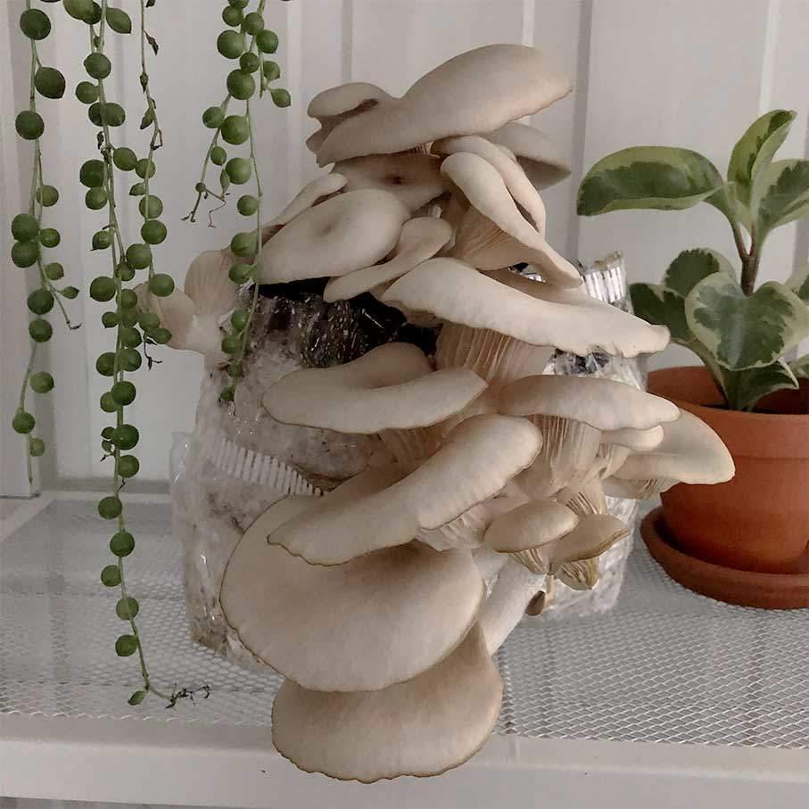 Odla svamp hemma - Svamphuset Grå ostronskivling