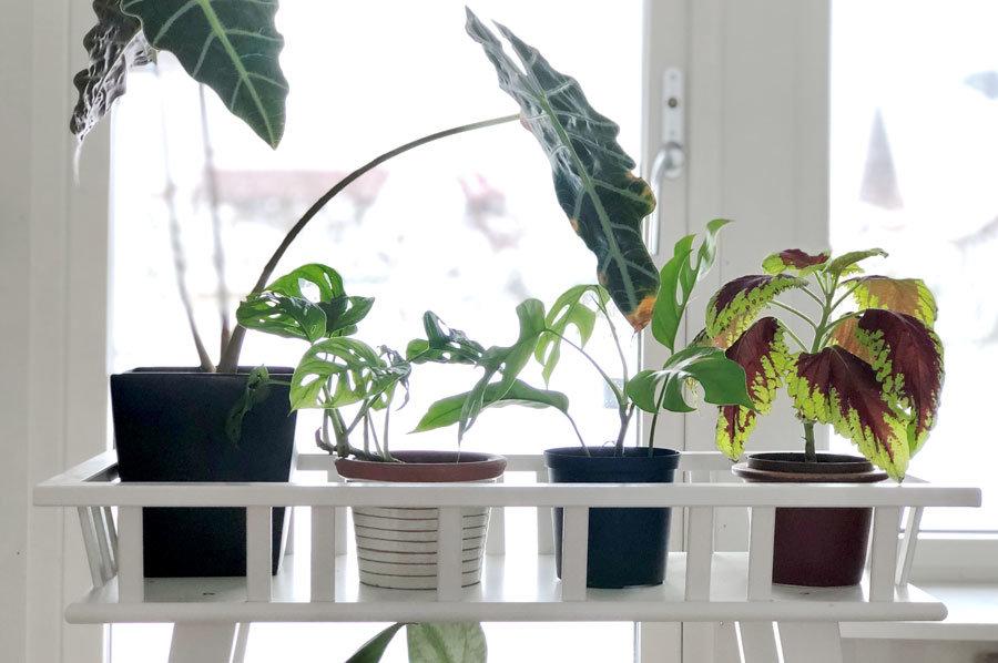 Så sköter du dina vintertrötta krukväxter
