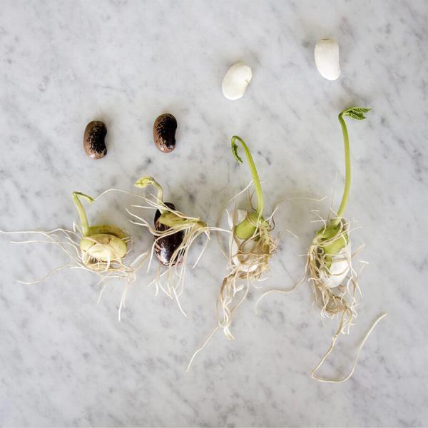 Blandade frön för groningsplatta - bönor skott